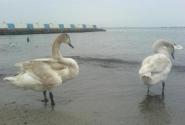 Лебеди на набережной Феодосии