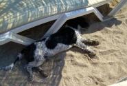 этот пес воровал тапочки на пляже