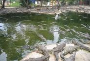 Крокодилы на любителя...