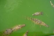 Крокодилчеги