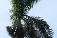 Королевская пальма