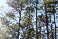 Пихтовые (или сосновые) леса на Кубе