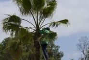 Стрижка для пальмы