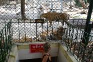 Интересуемся тиграми