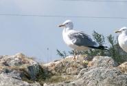 Ольхонская чайка