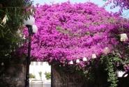 Бугенвилия в цвету