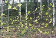 Так и не выросшие березовые листочки. И капли - то ли росы, то ли заснувшего дождя.
