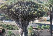 Икод де Лос Винос. Драконовое дерево