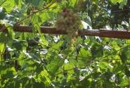 Гроздь винограда приковывает взгляд...