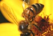 Говорящая пчела