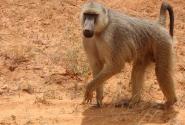 Бабуин  (нац. парк Тсаво)