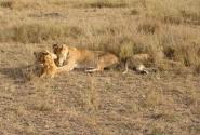 Львица с детками в Масаи-Мара