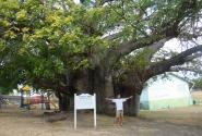 Барбадос (Бриджтаун) Королевский парк (1000 летний баобаб)