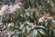 Цветущий Клеродендрум (Самана, Доминикана, остров Гаити)