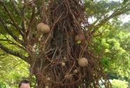 Ботанический сад Розо (остров Доминика) Курупита Гвианская или Дерево пушечных ядер