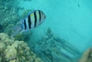 рыбка-матроскин
