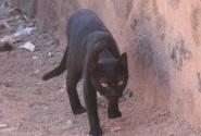 монастырский кот, или кошка