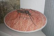 А вот комарик полуметровый.