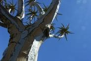 Колчановое дерево - супер дизайн