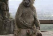 Оливковые бабуины