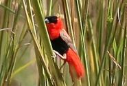 Птица, вызвавшая фурор в первый день нашего плавания. Как сияющий рубин носилась над травой. Из сотни сделаных кадров, нормально получилось штук пять. Встречайте: южный красный бархатный ткачик.