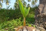 Пророщенный кокос