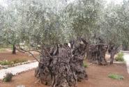 Древние маслины в Гефсиманском саду.