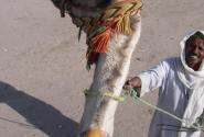 Бабуин, с высоты верблюда.