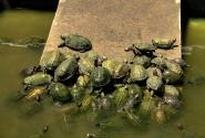 прудик с черепахами