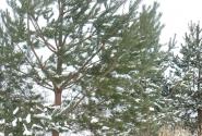 Это сосна или елка?