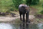 пьющий слон