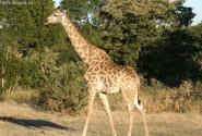 жираф натуральный