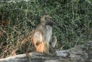 бабуин в раздумьях