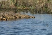 крокодил на страже Намибии