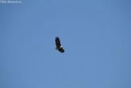 реющий орел