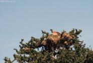 гнездо стервятников