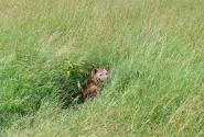 гиена в траве