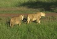 наши львицы