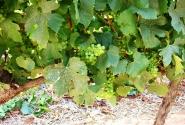 зеленые гроздья