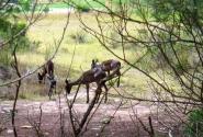 редкие черные импалы