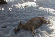 Дохлая собака на пляже