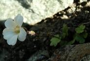 Горный цветок 2