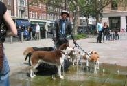 В Челси (собаки спасаются от жары и жажды)