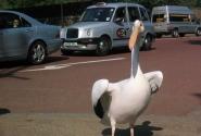 Тот самый спасенный пеликан