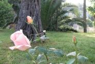 Розы в парке отеля