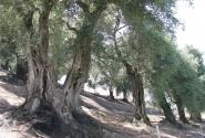 Очень старые оливы на острове Корфу, Греция. Оливы - это визитная карточка Корфу.