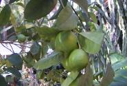 Лимоны Сардинии