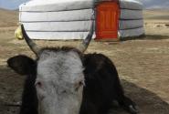 сторожевая монгольская корова