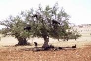 """А вот и """"летающие"""" козы - знай себе пасутся на деревьях"""