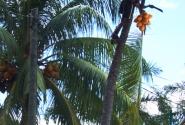 Вот так, без затей - другого способа достать кокос здесь нет